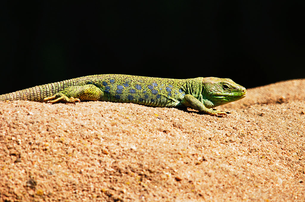 ?image=Animals/emerald-lizard-50366.jpg