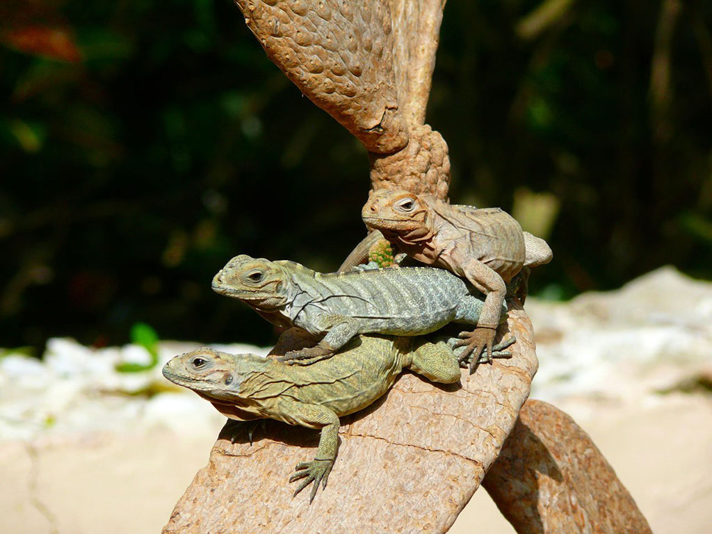 ?image=Animals/iguanas-1887.jpg