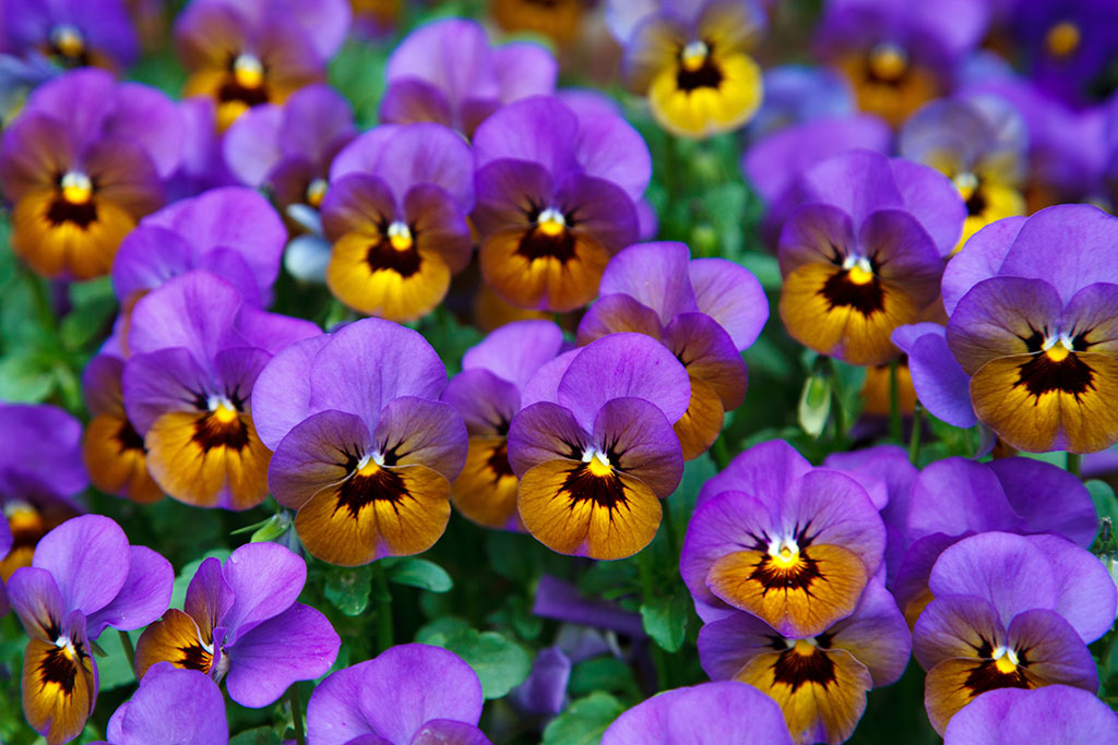 ?image=Nature/pansy-21968.jpg