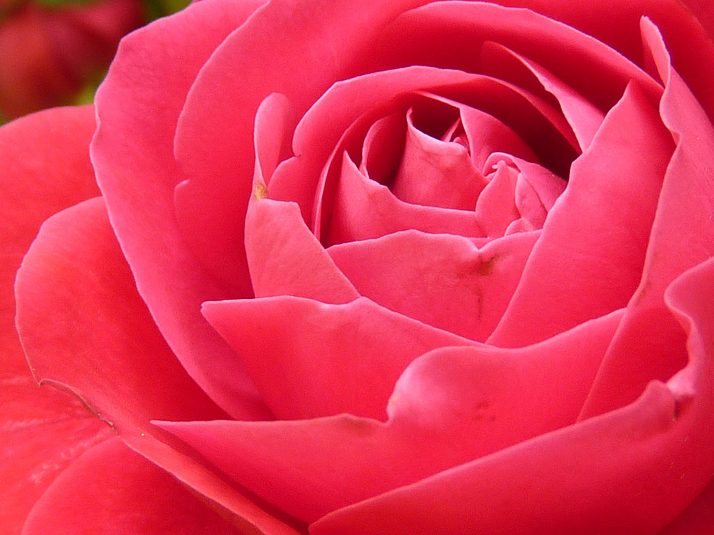 ?image=Nature/rose-7771.jpg