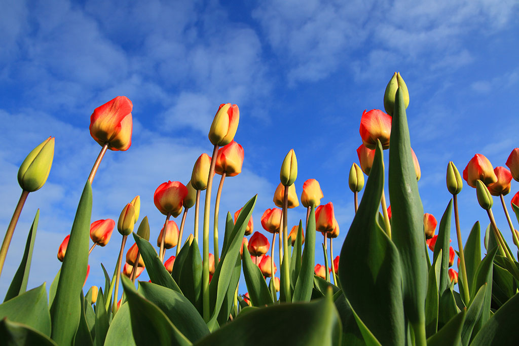 ?image=Nature/tulips-21598.jpg